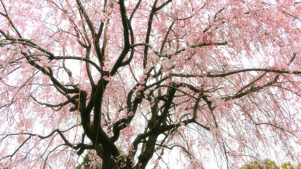 Video Scene, Sakura (Cherry Blossom), Ueno Park, Tokyo, Japan